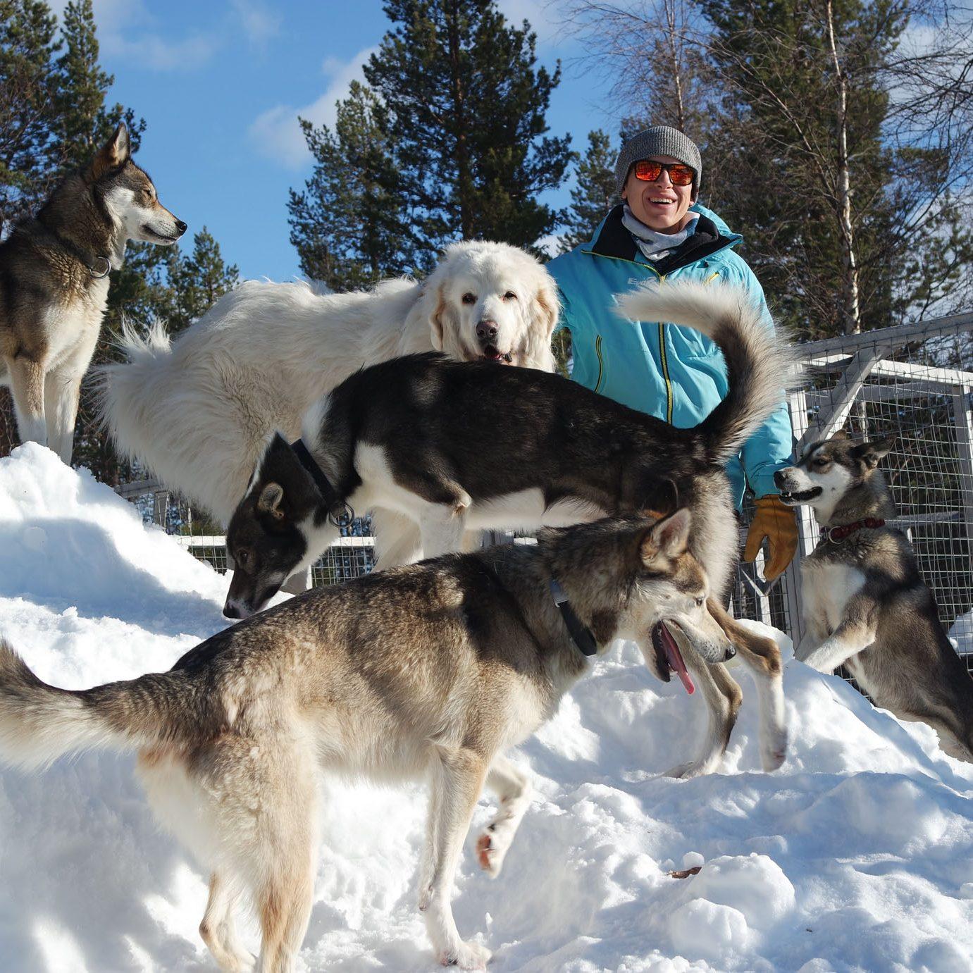 chiens traineaux husky